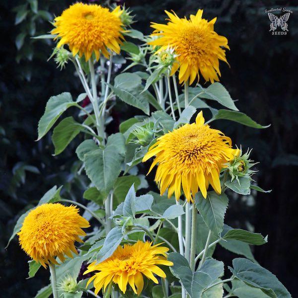 Sunflower Golden Cheer flowers