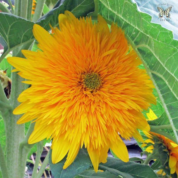 Sunflower seeds flower seed annual flowers sunflower golden cheer flower mightylinksfo
