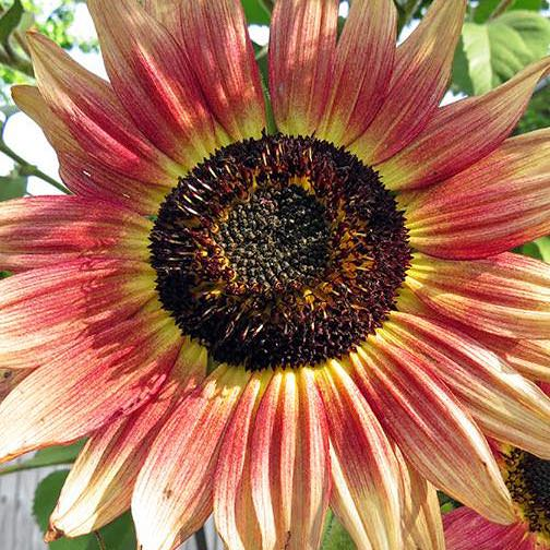Sunflower Gypsy Charmer - Annual Flower Seeds