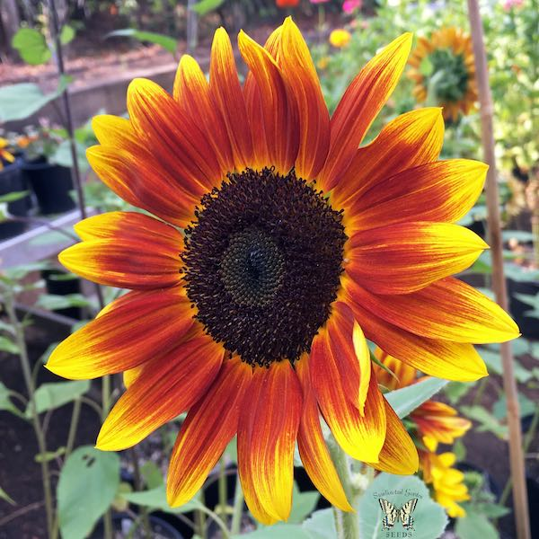 Sunflower Harlequin bicolor at an angle.
