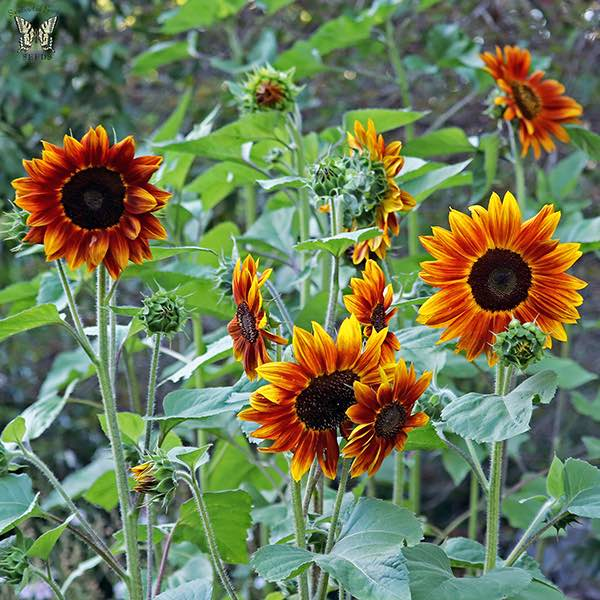 Sunflower Harlequin flowers.