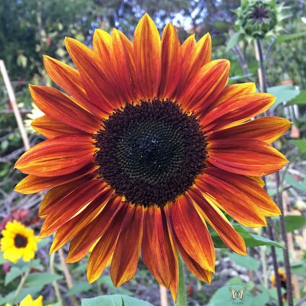 Sunflower Harlequin red.