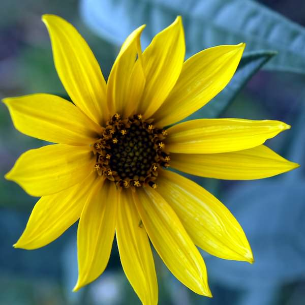 Sunflower Maximilian