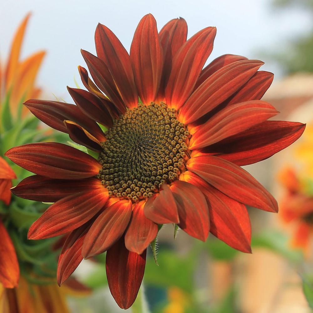 Sunflower Moulin Rouge flower