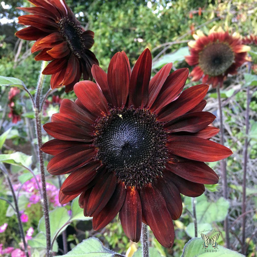 Sunflower Moulin Rouge flowers