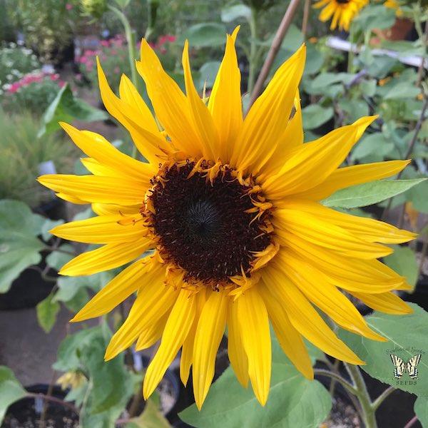 Sunflower Orange Ruffles