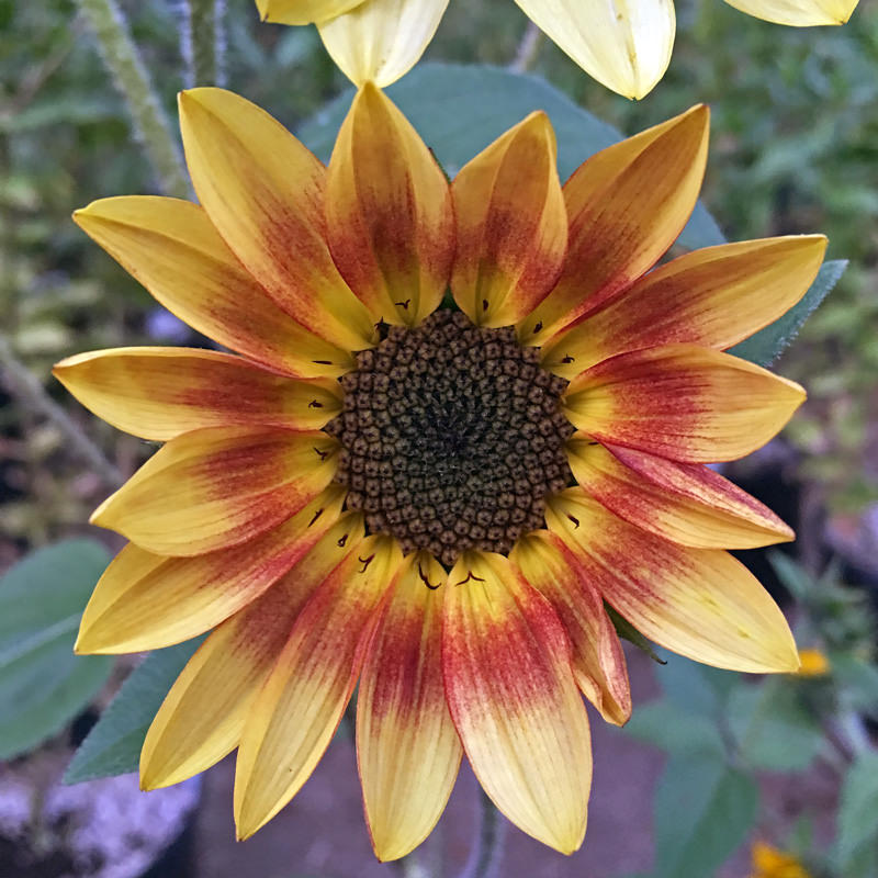 Sunflower Pastiche
