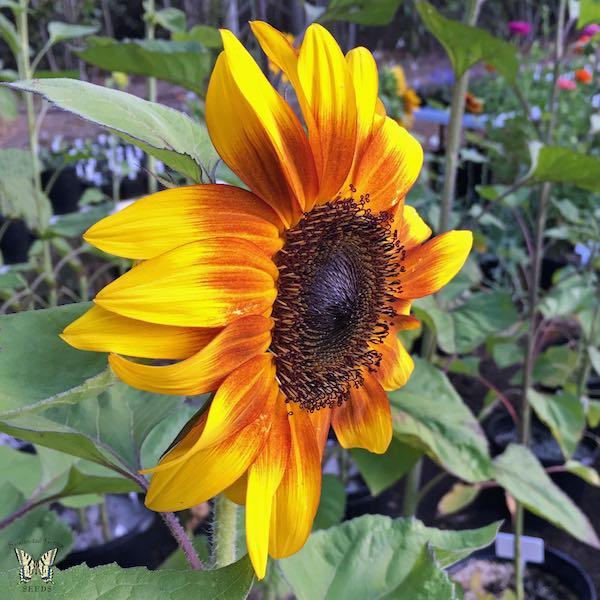 Sunflower ProCut Bicolor Flower Profile