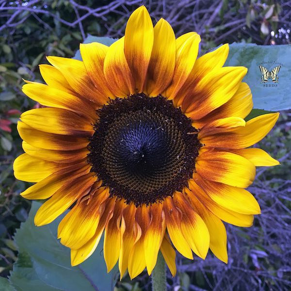 Sunflower ProCut Bicolor