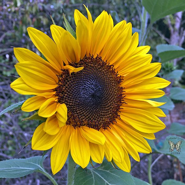 Sunflower ProCut Brilliance