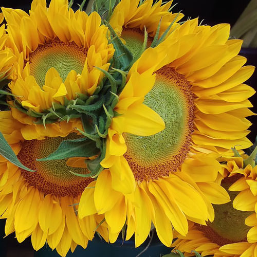 Sunflower ProCut Gold