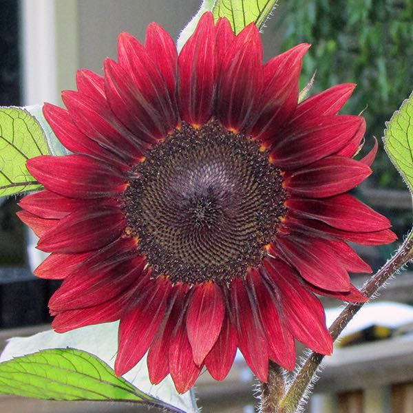 Sunflower ProCut Red