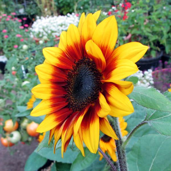 Solar Flash dwarf sunflower in the flower garden