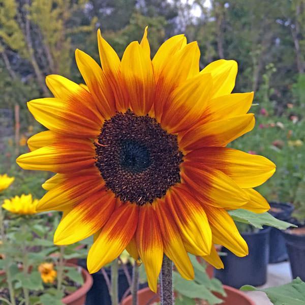 Solar Flash dwarf sunflower