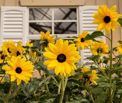 Sunflower Sunfinity Hybrid