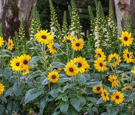 Sunfinity Hybrid sunflowers