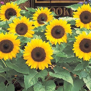 Sunflower Sunny Smile