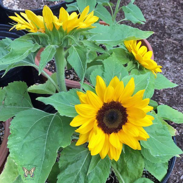 Sunflower Sunny Smile Plant
