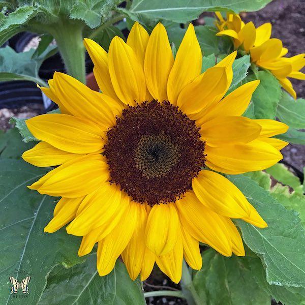 Sunflower Sunny Smile Flowers