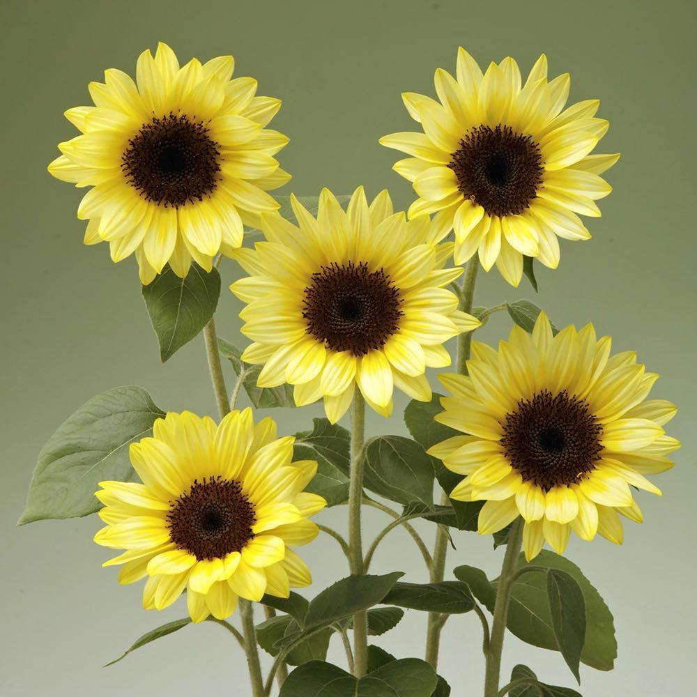 Sunflower Sunrich Limoncello Summer
