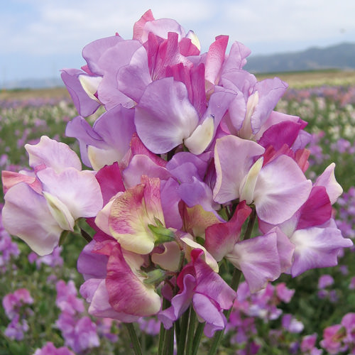 Sweet pea Prima Ballerina Tri-Color