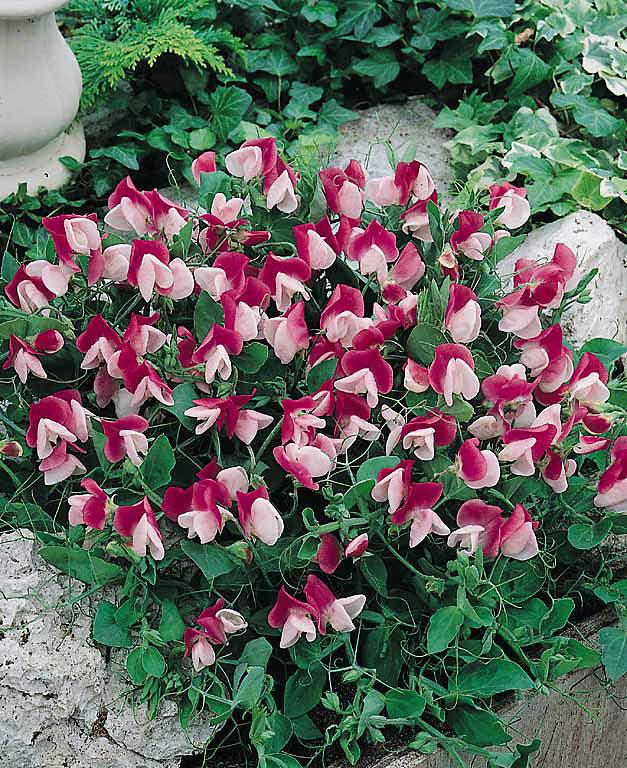 Cupid Pink Sweet Pea Seeds Flowering Vine