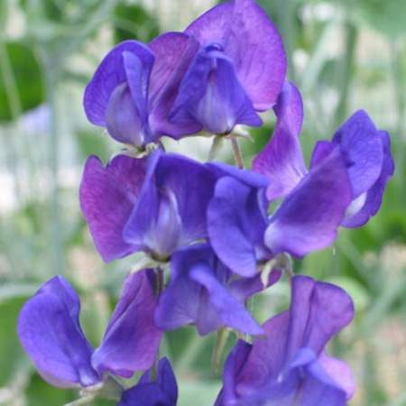 Sweet Pea Lord Nelson