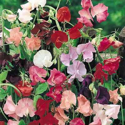 Sweet pea Mammoth Mix