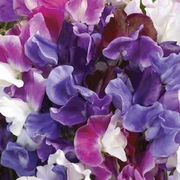 Sweet Pea Melody Mix