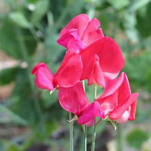 Sweet Pea Queen Alexandra