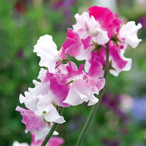 Sweet pea Route 66 seeds