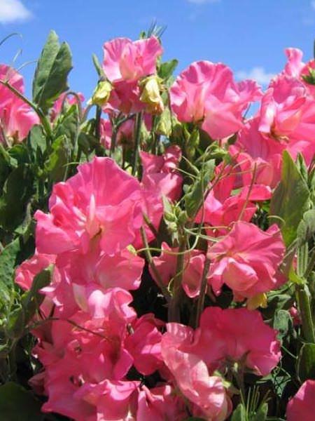 Villa Roma Pink sweet pea