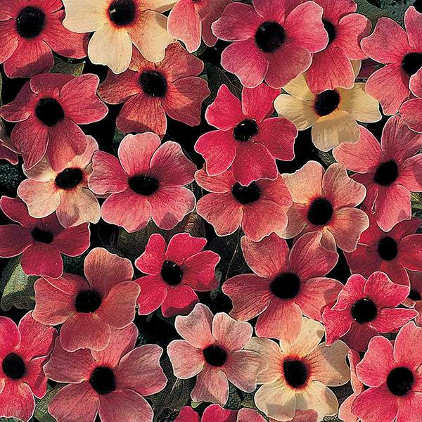 Blushing Susie Black-eyed Susan Vine seeds