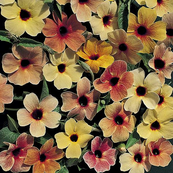 Spanish Eyes Black-Eyed Susan Vine seeds