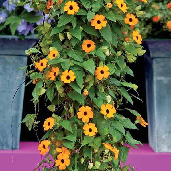 Image result for Black-eyed Susan vine