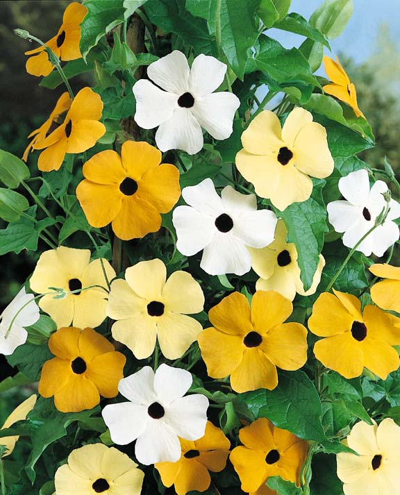 Susie Mix Black-eyed Susan Vine seeds