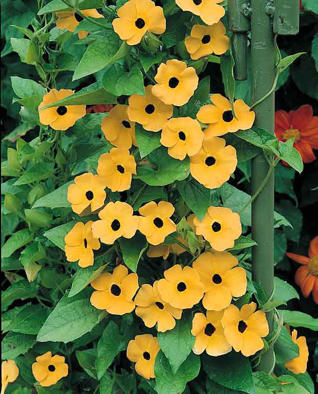 Tiger Eyes Black-eyed Susan Vine seeds