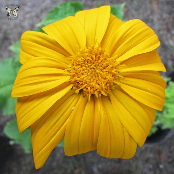 Tithonia Yellow Torch flowers