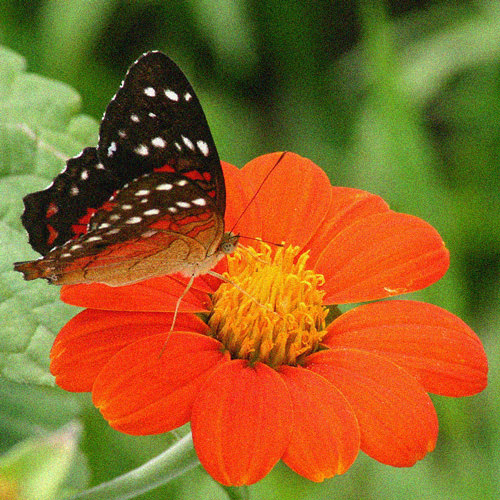 Tithonia Torch with butterfly