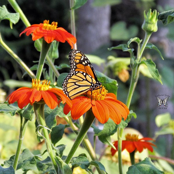 Tithonia Torch flowers with monarch butterfly