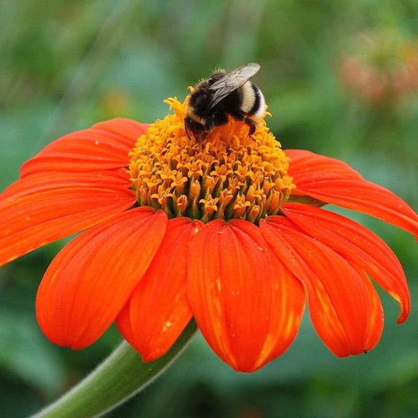 Tithonia Torch flowers