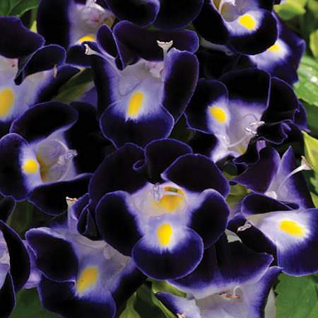 Wishbone flower Kauai Deep Blue Torenia flowers