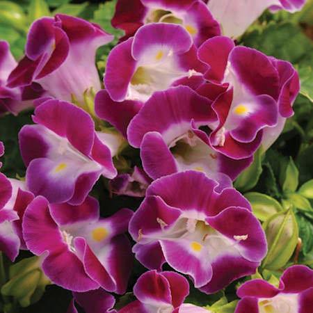 Wishbone flower Kauai Magenta Torenia seeds