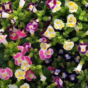 Wishbone flower Kauai Mix Torenia flowers