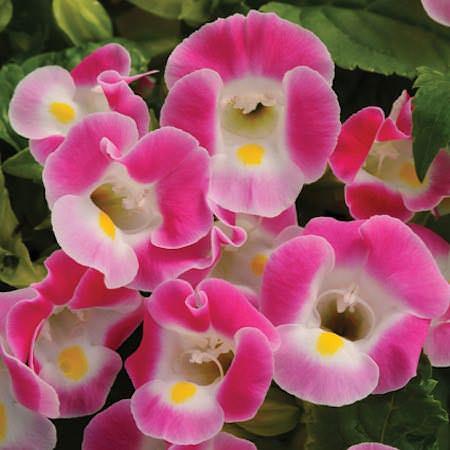 Wishbone flower Kauai Rose Torenia seeds