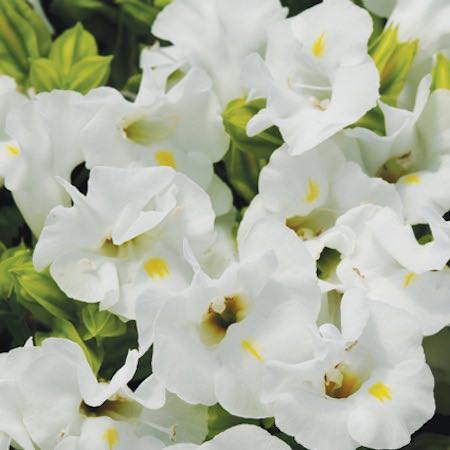 Wishbone flower Kauai White Torenia seeds
