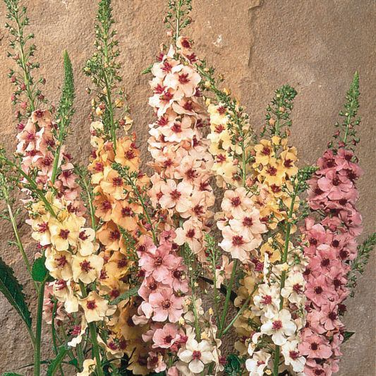 Verbascum Southern Charm perennial flower seeds