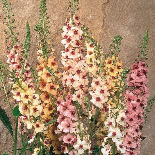 Verbascum Southern Charm - Verbascum x hybrida
