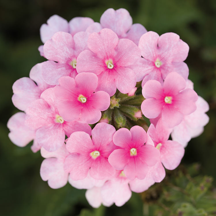 Obsession Cascade Pink Shades trailing verbena seeds