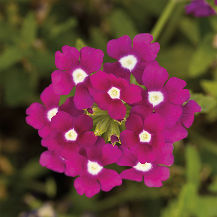 Obsession Cascade Purple Shades with Eye trailing verbena seeds